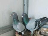 息详情 郑州买回的种信鸽