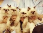 南充地区出售喜马拉雅幼猫