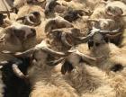 批发零售藏羊,牦牛,羊胴体