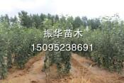 占地桃树 供应山东有品质的占地果树