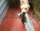 美国恶霸犬(秀比特)幼犬出售 忠实的伴侣犬