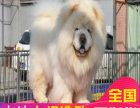 哪里卖松狮犬幼犬珠海松狮多少钱一只紫舌松狮图片