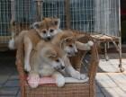 高品质秋田犬出售 疫苗驱虫已做 保证血统健康