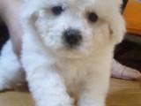 北京出售純種法系卷毛比熊幼犬茶杯比熊犬小型白色