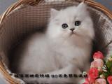 美丽与气质共存的金吉拉猫咪包纯种包健康