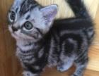 纯种美短银虎斑 美国短毛猫标斑DD找新家
