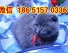 出售超可爱优秀精品蓝猫猫咪品相完美