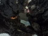 灰色玩具体贵宾犬三公