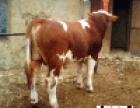 内蒙肉牛养殖场 内蒙西门塔尔肉牛犊价格多少
