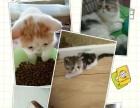 【太子妃名猫坊】出售美国CFA加菲猫幼仔、种公借配
