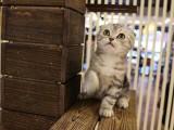 自己家繁殖折耳猫三窝 可以包窝 可以零卖 具体详谈