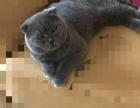 蓝包子折耳猫,自家繁殖,3个月大保健康,欢迎来电。