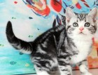 天津福州佛山珠海布偶折耳波斯短毛貓多少錢一 雙飛貓