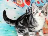 上海广州深圳北京出售加菲金吉拉豹蓝暹罗无毛猫 双飞猫