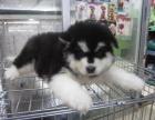 长沙本地低价出售阿拉斯加 包健康 包纯种 有多条狗狗挑选