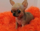 北京犬舍实体店出售 吉娃娃 幼犬 育苗齐全 质保三个月