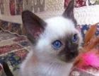 可爱的挖煤君【上海家养暹罗猫】做好猫五联 会用猫砂