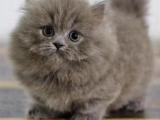 福建泉州猫舍直销矮脚幼猫一手出售