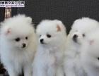 珠海买狗有保障的狗场 宗泰狗场出售纯种银狐犬