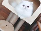 济南哪里有波斯猫卖 纯种 无病无廯 协议质保