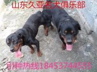 卡斯罗犬 杜高犬 金毛犬 拉布拉多犬专业保证 价格低廉