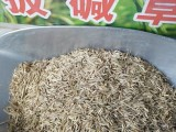 北方种植无芒雀麦 披碱草 饲料 绿化又能保水土
