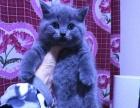 自家繁殖高品质双血统CAA纯种小蓝猫~只做品质.