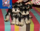 犬舍极品椒盐纯黑,黑银雪纳瑞幼犬纯种健康疫苗做齐