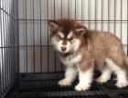 临沂哪里有纯种阿拉斯加卖专业繁育阿拉斯加熊版灰桃脸雪橇犬