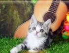 批发出售英短蓝猫 渐层 蓝白 美短虎斑 美国短毛猫