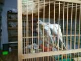 出售自家繁殖各種玉鳥,價格超低