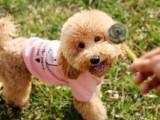 懷化出售純種小型 正宗博美犬