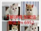 常年批发零售宠物猫美短英短蓝猫蓝白渐层加菲折耳布偶