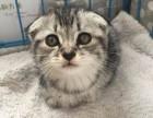 猫舍专业繁殖出售苏格兰折耳猫 疫苗已做包健康