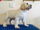 拉布拉多幼犬 品相好大骨量 签合同保一年 送狗上门 可上门