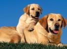 明星都到我家买狗,神犬小七后代 纯种拉布拉多犬,只做精品