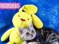 出售自家美短宠物猫