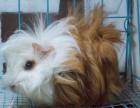 可爱的豚鼠荷兰猪天竺鼠 会叫唤的小精灵 平价龙猫