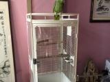 出售亚马逊大鹦鹉