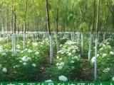 承雨凤丹种子种苗种植合作 品种繁育