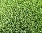 涿州市润成丰园林绿化草坪种植中心供应新鲜优质高羊茅高碑店草坪