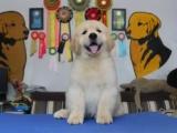 南京哪里有犬舍出售金毛的 南京金毛幼犬怎么卖 金毛多少钱一只