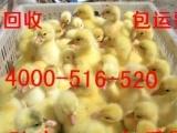 我场常年出售大品种鹅苗扬州 皖西白鹅 朗德鹅四季鹅狮头鹅等品种