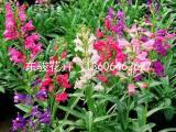 钓钟柳种植基地——山东哪里供应的钓钟柳价格优惠
