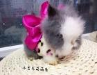 卡哇伊纯色垂耳兔猫猫兔喜马拉雅出售