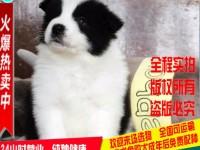 犬舍专业繁殖边境牧羊犬 购买有保障 签协议保健康