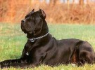 出售卡斯罗 卡斯罗幼犬 品质好 质量保证