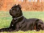 出售纯种卡斯罗 卡斯罗幼犬 品质好 血统保证
