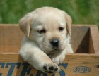 精品幼犬品相好 包健康包纯种
