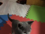 个人售:英国短毛猫2个半月大(公)